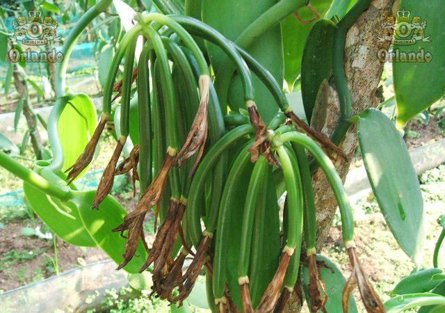 vanilla beans developing on the beans